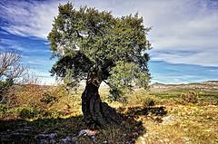 Olivo variedad Farga. L´alt Maestrat. Foto; Abariltur.